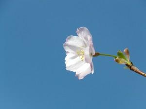 4a8c5aa4d90df399788658524ce5f327 300x225 - 桜が散ってしまいました・・・