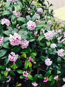 image 10 225x300 - 春と、沈丁花と、求人