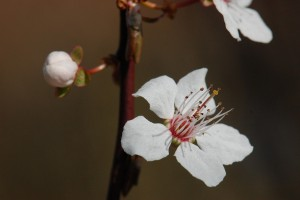 spring 1191638 1280 300x200 - ☆桜の開花☆